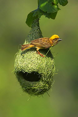 Baya Weaver (Ploceus philippinus) male weaving nest, Singapore  -  Graeme Guy/ BIA
