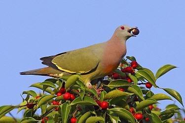Pink-necked Green-Pigeon (Treron vernans) male feeding on berries, Kedah, Malaysia  -  Graeme Guy/ BIA