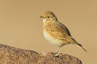 Bar-tailed Lark (Ammomanes cincturus), Eilat, Israel  -  Avi Meir/ BIA