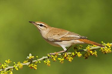 Rufous-tailed Scrub Robin (Erythropitta ussheri), Eilat, Israel  -  Avi Meir/ BIA