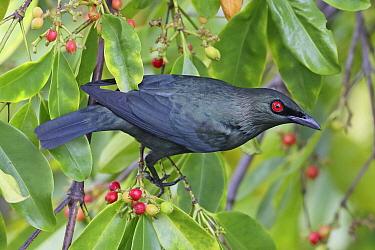 Asian Glossy Starling (Aplonis panayensis), Penang, Malaysia  -  Graeme Guy/ BIA