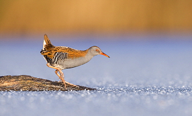 Water Rail (Rallus aquaticus) in winter, Amsterdam, Netherlands  -  Franka Slothouber/ BIA