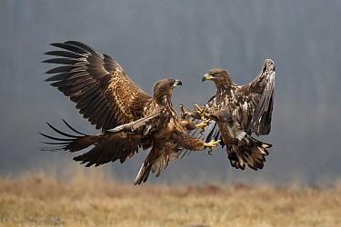 White-tailed Eagle (Haliaeetus albicilla) pair fighting, Poland  -  Bruno de Faveri/ BIA
