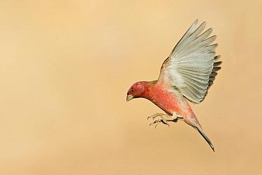 Pale Rosefinch (Carpodacus synoicus) male flying, Eilat, Israel  -  Avi Meir/ BIA