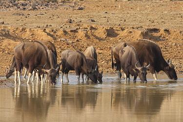Gaur (Bos gaurus) herd drinking, Tadoba Andheri Tiger Reserve, India  -  Suzi Eszterhas