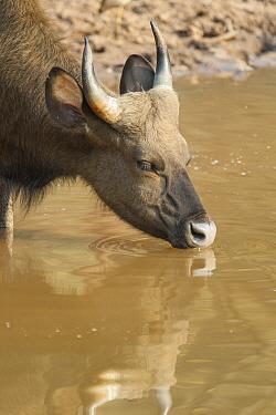 Gaur (Bos gaurus) drinking, Satpura National Park, India  -  Suzi Eszterhas