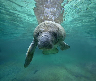 West Indian Manatee (Trichechus manatus), Crystal River, Florida  -  Tim Fitzharris