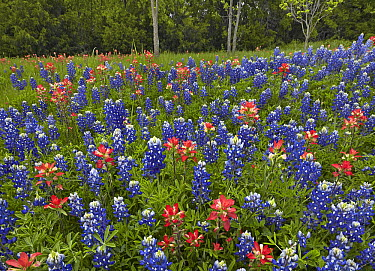 Lupine (Lupinus sp) and Paintbrush (Castilleja sp) flowers, Cedar Hill State Park, Texas  -  Tim Fitzharris