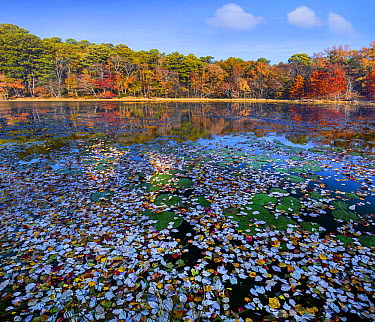 Lily pads and autumn leaves in lake, Daingerfield State Park, Texas  -  Tim Fitzharris