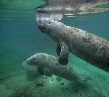 West Indian Manatee (Trichechus manatus) mother and calf, Crystal River, Florida  -  Tim Fitzharris