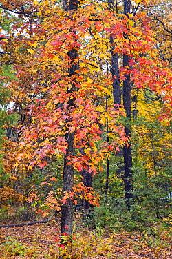 Sweetgum (Liquidambar styraciflua) tree in autumn, Tyler State Park, Texas  -  Tim Fitzharris