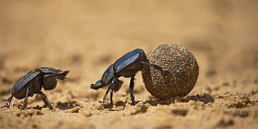 Giant Flattened Dung Beetle (Pachylomera femoralis) pair fighting over dung ball, Serowe, Botswana  -  Vincent Grafhorst