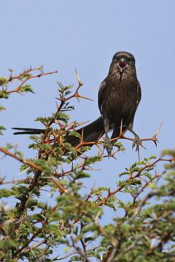 Magpie Shrike (Urolestes melanoleucus) calling, Serowe, Botswana  -  Vincent Grafhorst