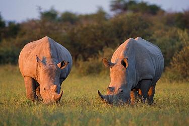 White Rhinoceros (Ceratotherium simum) pair grazing, Serowe, Botswana  -  Vincent Grafhorst