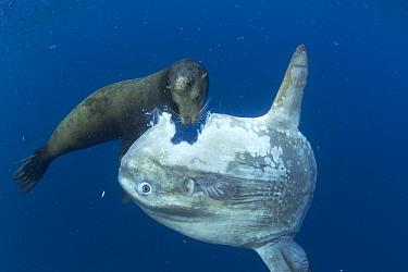 California Sea Lion (Zalophus californianus) feeding on Ocean Sunfish (Mola mola), Nine Mile Bank, San Diego, California. Sequence 3 of 4  -  Richard Herrmann