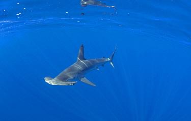 Smooth Hammerhead Shark (Sphyrna zygaena), Nine Mile Bank, San Diego, California  -  Richard Herrmann