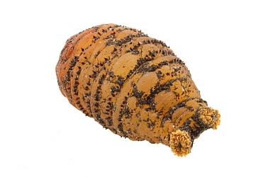 Human Botfly (Dermatobia hominis) pupa, Belize  -  Piotr Naskrecki