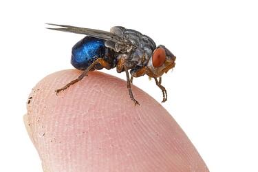 Human Botfly (Dermatobia hominis), Belize  -  Piotr Naskrecki
