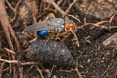 Human Botfly (Dermatobia hominis) with puparium, Belize  -  Piotr Naskrecki