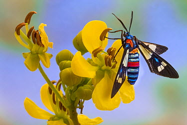 Footman Moth (Amata sp) displaying warning coloration, Goronogosa National Park, Mozambique  -  Piotr Naskrecki