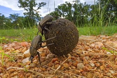 Dung Beetle (Kheper aegyptiorum) pair rolling dung ball, Gorongosa National Park, Mozambique  -  Piotr Naskrecki