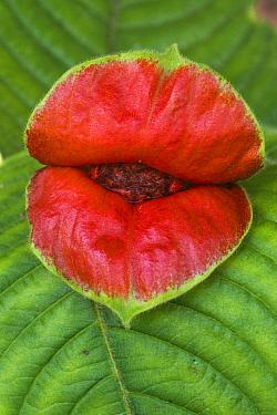 Hot Lips (Psychotria poeppigiana) flower in rainforest, Ecuador  -  Pete Oxford