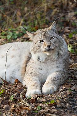 Eurasian Lynx (Lynx lynx), native to Europe  -  Roland Seitre