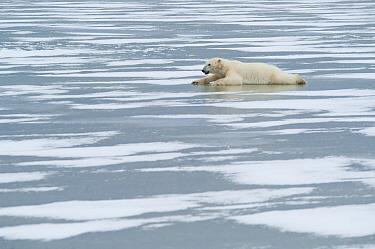 Polar Bear (Ursus maritimus) cooling itself on the ice, Canada  -  Roland Seitre