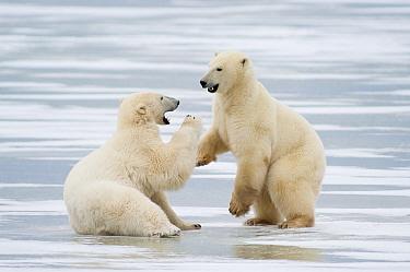 Polar Bear (Ursus maritimus) pair fighting, Canada  -  Roland Seitre