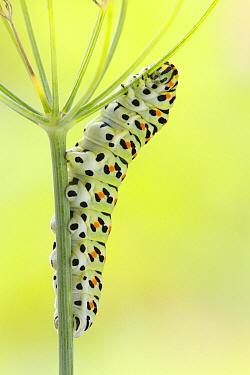 Oldworld Swallowtail (Papilio machaon) caterpillar on fennel, Netherlands  -  Silvia Reiche