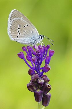 Mazarine Blue (Cyaniris semiargus) butterfly, Dordogne, France  -  Silvia Reiche