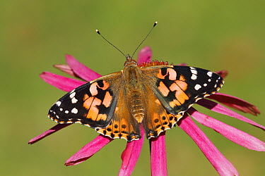 Painted Lady (Vanessa cardui) butterfly on Purple Coneflower (Echinacea purpurea), Netherlands  -  Silvia Reiche