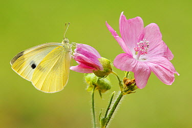 Cabbage White (Pieris rapae) butterfly on flower, Netherlands  -  Silvia Reiche
