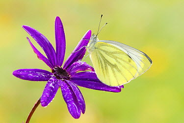 Green-veined White (Pieris napi) butterfly, Netherlands  -  Silvia Reiche
