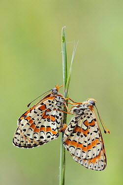 Spotted Fritillary (Melitaea didyma) butterflies mating, Luberon Valley, France  -  Silvia Reiche