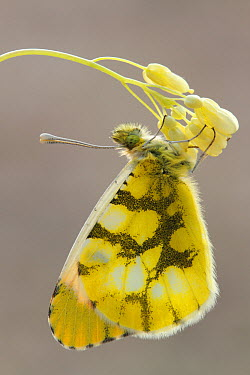 Provence Orange Tip (Anthocharis euphenoides) butterfly, Luberon Valley, France  -  Silvia Reiche