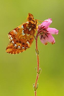 Cranberry Fritillary (Boloria aquilonaris) butterfly, Belgium  -  Silvia Reiche