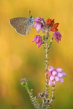 Alcon Blue (Maculinea alcon) butterfly, Netherlands  -  Silvia Reiche