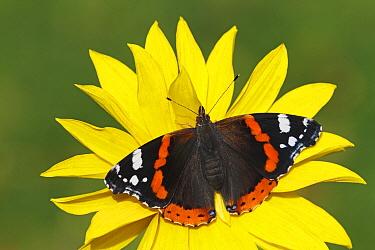 Red Admiral (Vanessa atalanta) butterfly, Netherlands  -  Silvia Reiche