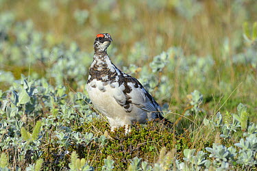 Rock Ptarmigan (Lagopus muta) male, Snaefellsnes Peninsula, Iceland  -  Winfried Wisniewski
