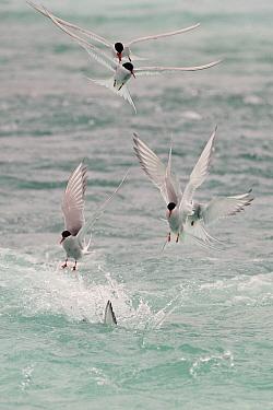 Arctic Tern (Sterna paradisaea) group foraging, Snaefellsnes Peninsula, Iceland  -  Winfried Wisniewski