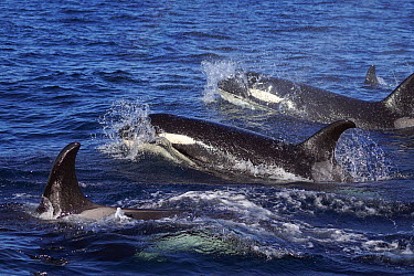 Orca (Orcinus orca) pod surfacing, Hokkaido, Japan  -  Hiroya Minakuchi