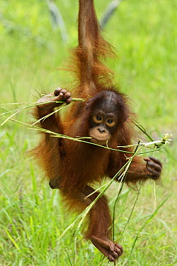 Sumatran Orangutan (Pongo abelii) juvenile playing with branch, native to Sumatra  -  Hiroya Minakuchi
