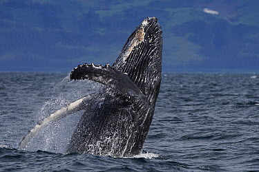 Humpback Whale (Megaptera novaeangliae) breaching, Prince William Sound, Alaska  -  Hiroya Minakuchi