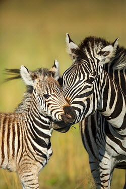 Burchell's Zebra (Equus burchellii) mother nuzzling foal, Rietvlei Nature Reserve, South Africa  -  Richard Du Toit