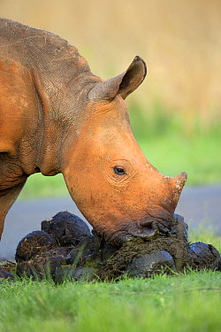 White Rhinoceros (Ceratotherium simum) calf eating its own dung, Rietvlei Nature Reserve, South Africa  -  Richard Du Toit