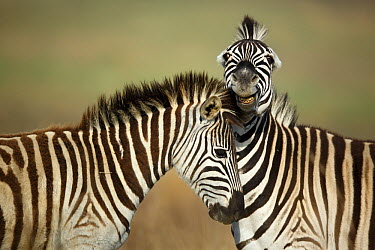 Burchell's Zebra (Equus burchellii) stallions fighting, Rietvlei Nature Reserve, South Africa  -  Richard Du Toit