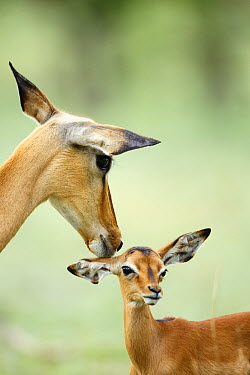 Impala (Aepyceros melampus) mother nuzzling one month old calf, Chobe National Park, Botswana  -  Richard Du Toit