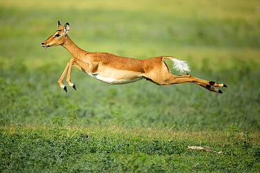 Impala (Aepyceros melampus) female jumping, Chobe National Park, Botswana  -  Richard Du Toit