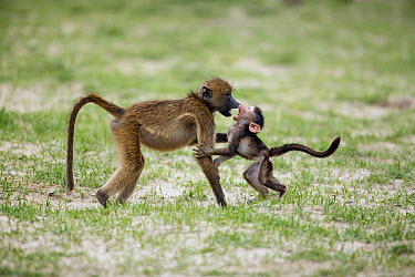 Chacma Baboon (Papio ursinus) juvenile and baby play-fighting, Chobe National Park, Botswana  -  Richard Du Toit